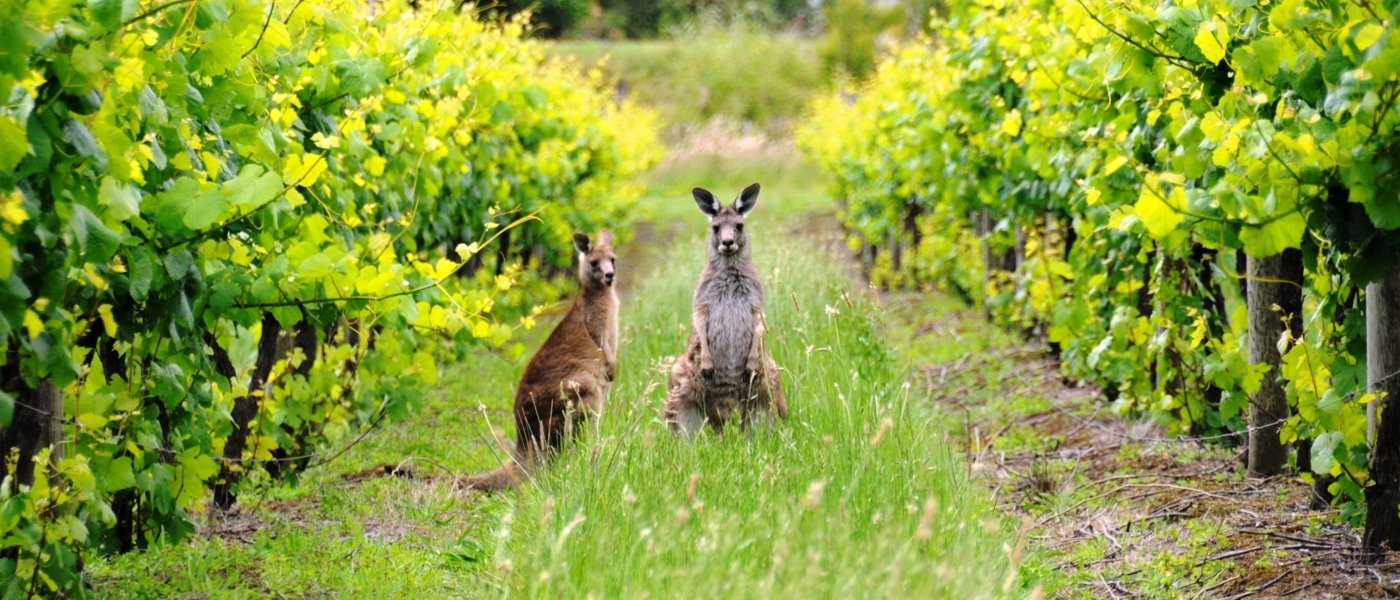 Kangaroos in vineyards - Wine Paths