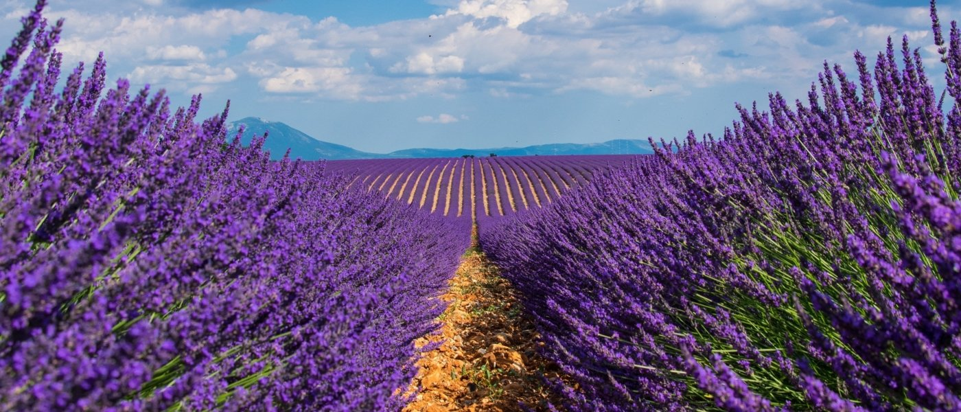 Lavender fields - Wine Paths