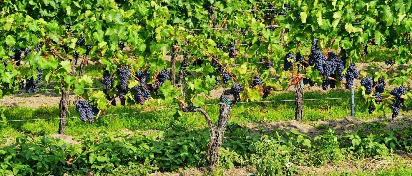 grapes in burgundy vineyards - Wine Paths