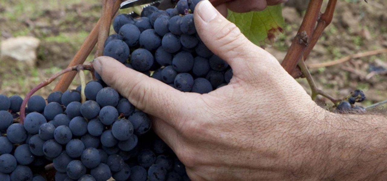 grapevines ferrand