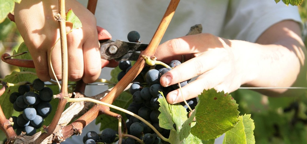 Harvest at Chateau Leoville Poyferre