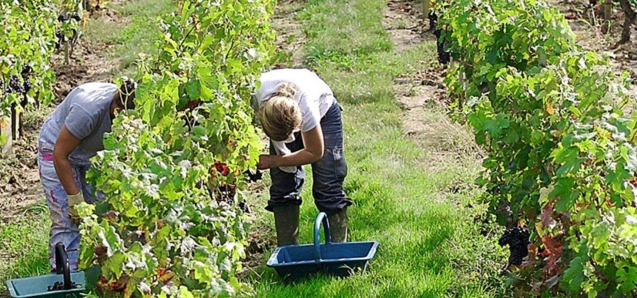 vineyard ferrand