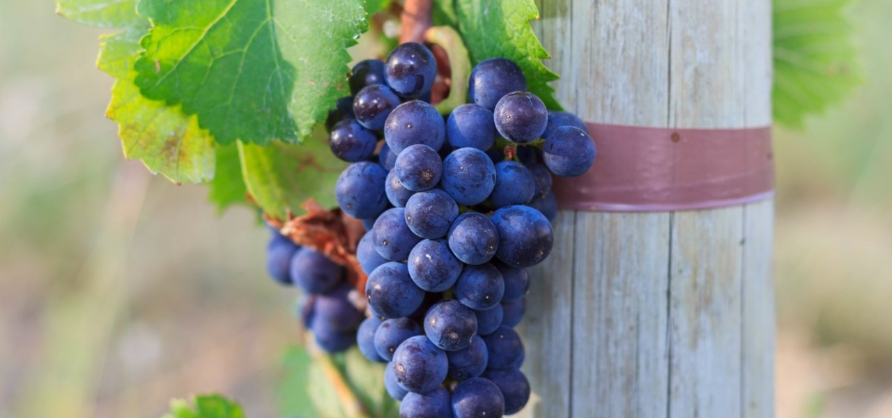 Alpasion Vineyard Black Grapes