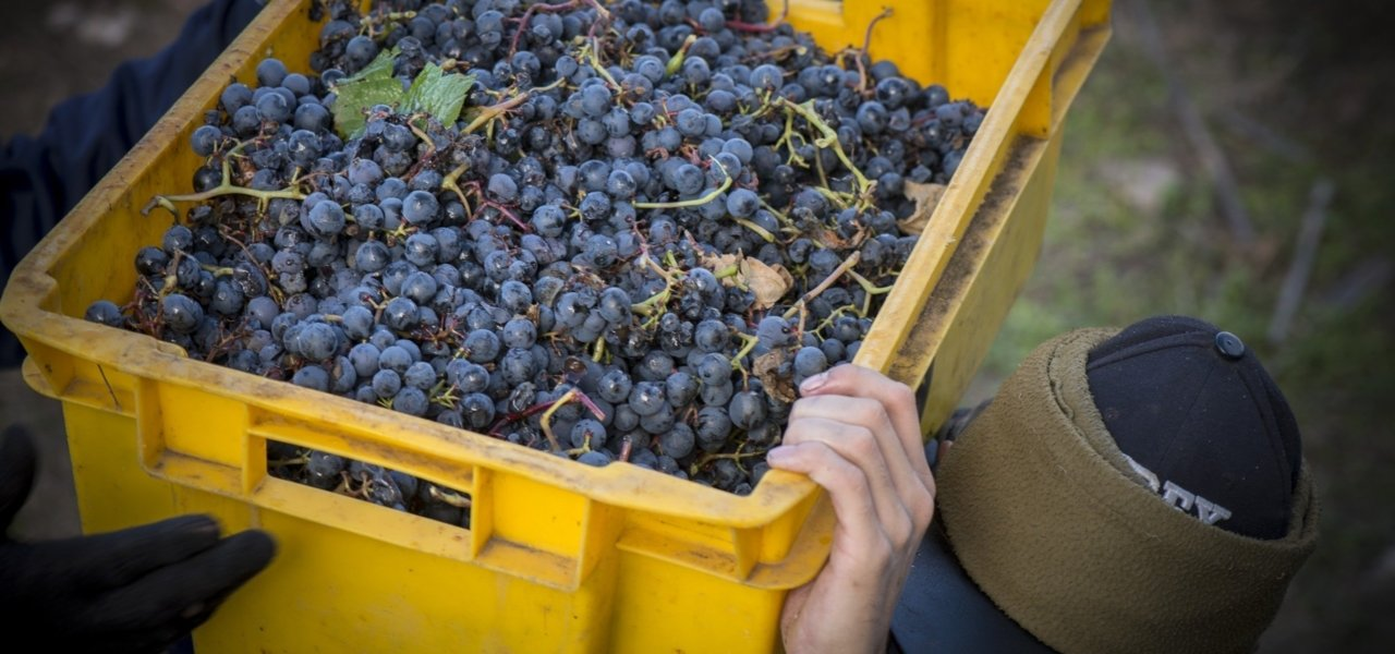 grapes from clos de los siete