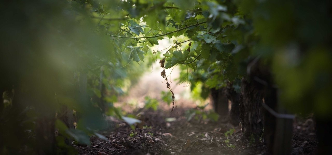 vines at chateau kirwan