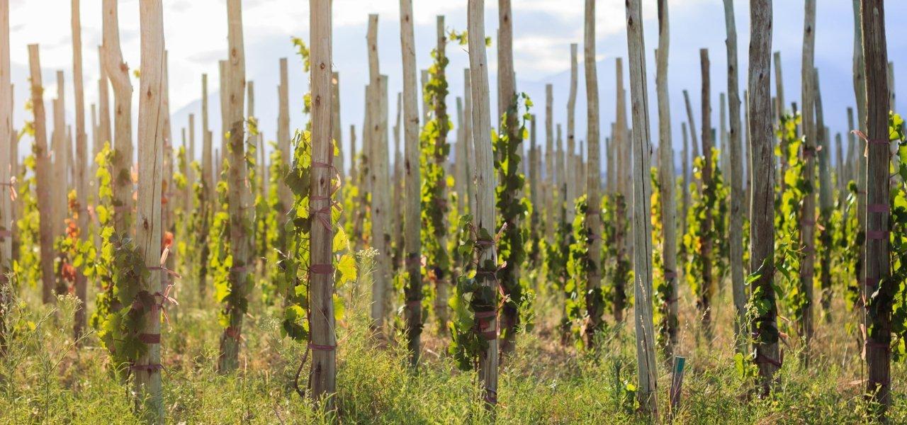 Alpasion Vineyard Stakes