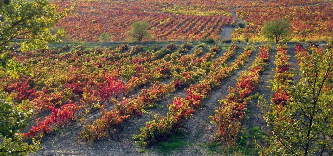 The landscape of Tempranillo grape in the fall