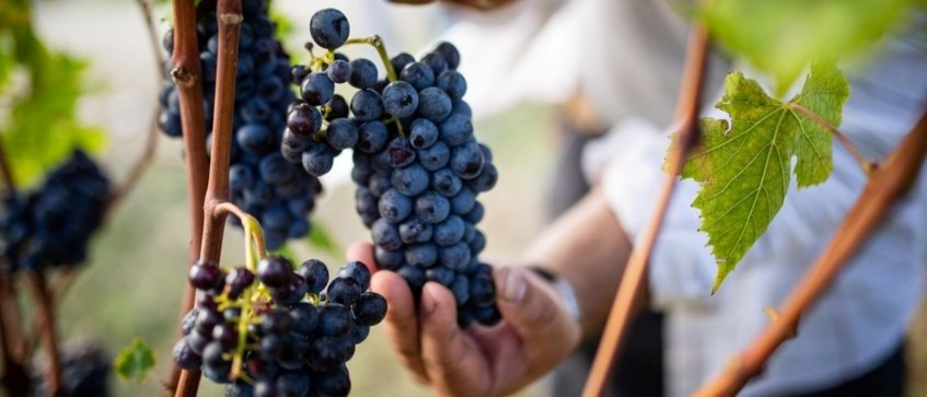harvest experience castiglion del bosco tuscany - Wine Paths